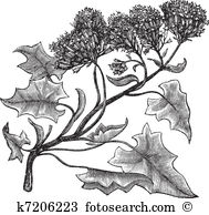 Groundsel Clip Art and Illustration. 8 groundsel clipart vector.