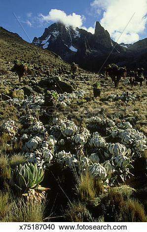 Stock Photography of cabbage groundsel: senecio brassica mount.