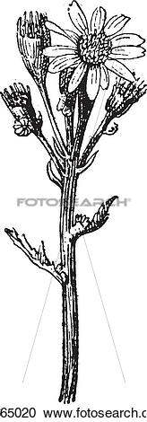 Clipart of Common groundsel or Senecio vulgaris vintage engraving.
