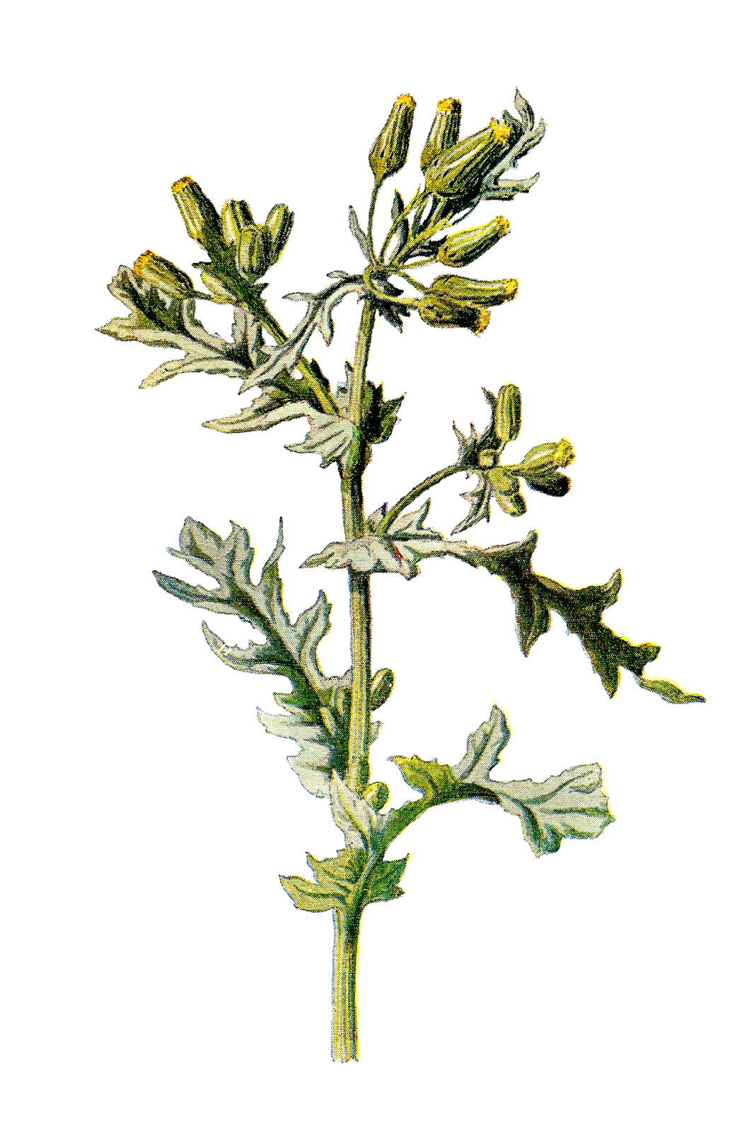 Antique Images: Free Digital Wildflower Clip Art of Flower Groundsel.