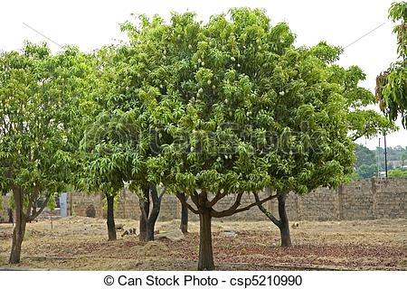 Stock Photography of West African Mango Trees.