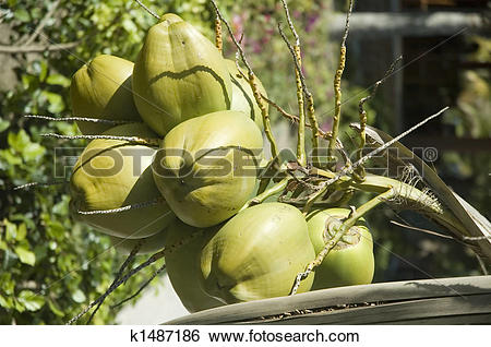 Stock Images of A bunch of coconuts growi k1487186.
