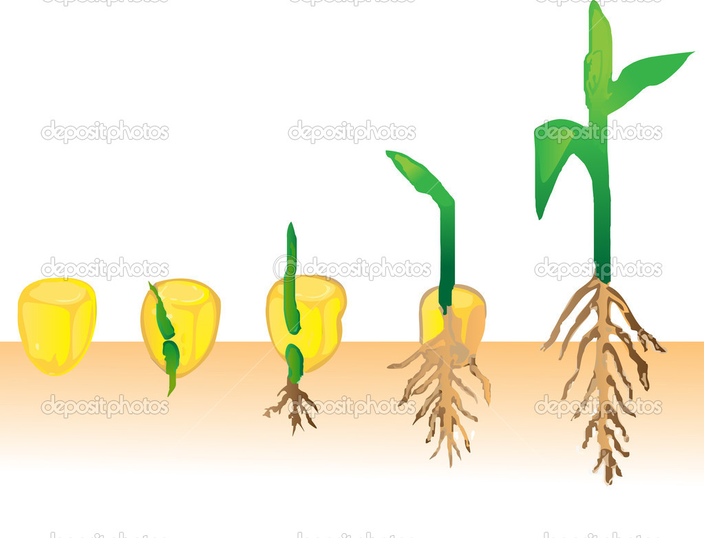 Maize varieties clipart #6