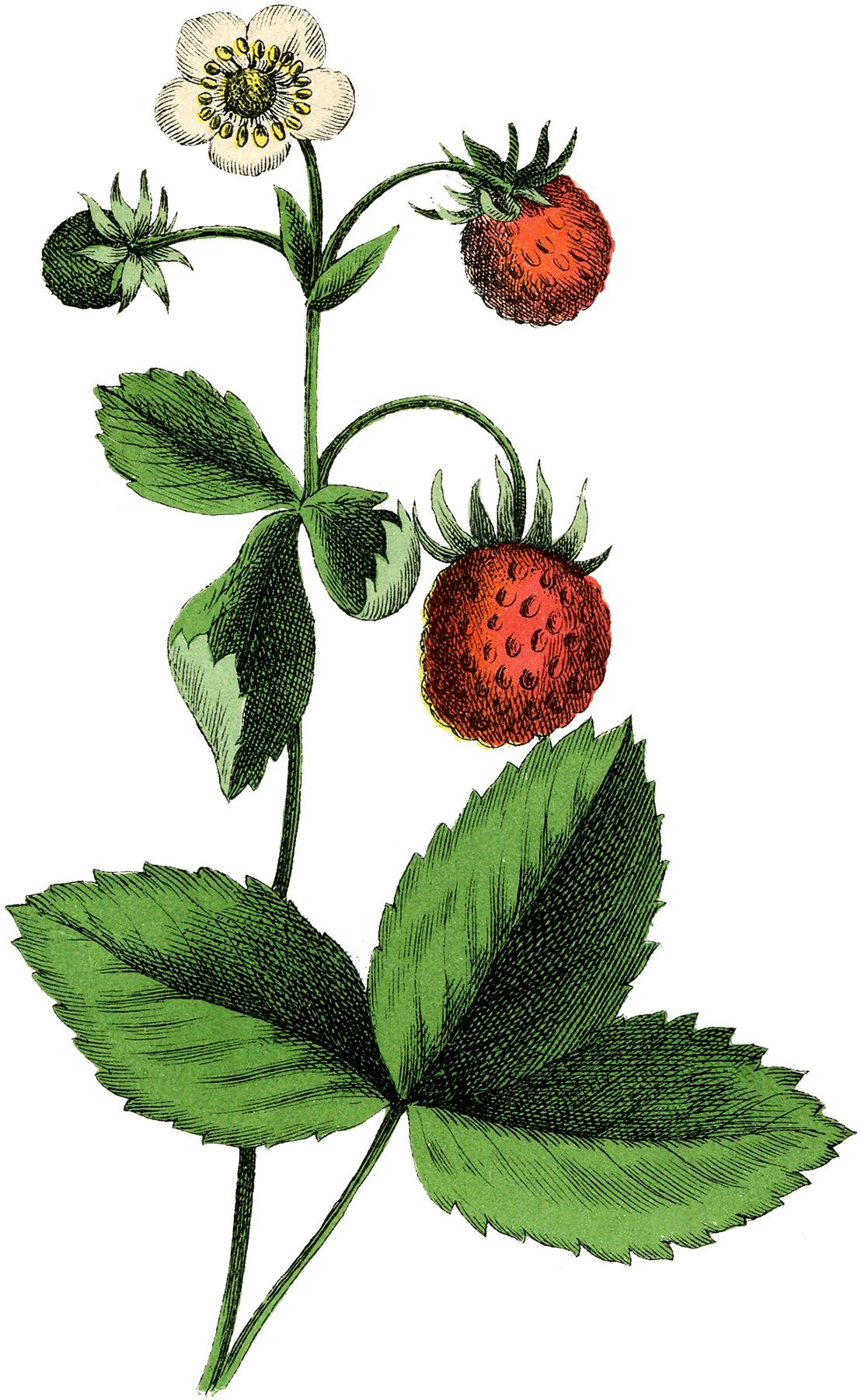 Beautiful Vintage Strawberry Plant Image!.