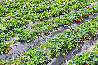 Strawberry Plant Stock Images.