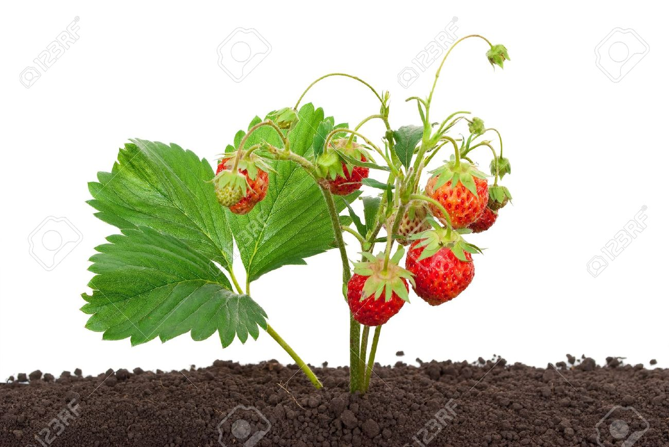 Strawberry Growing Out Of The Soil Stock Photo, Picture And.