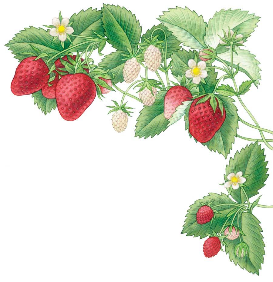 Best 4 website Tips for Growing Strawberries.