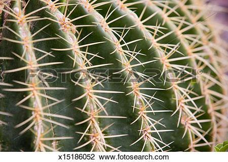 Stock Photo of Golden barrel cactus (Echinocactus grusonii) spines.