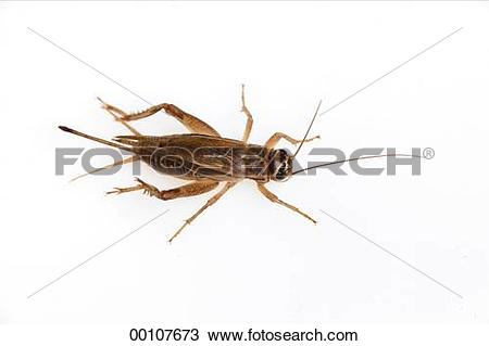 Stock Photo of Gryllidae, animals, animal, Juniors, Acheta.
