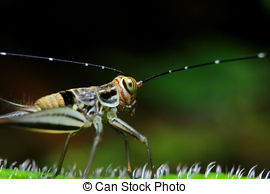 Stock Images of insect cricket.