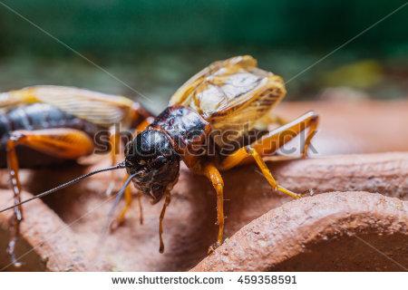 Gryllidae Stock Photos, Royalty.