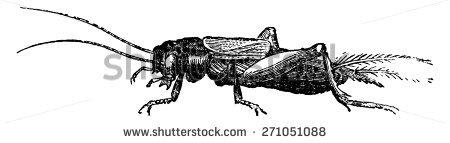 Gryllidae Stock Vectors & Vector Clip Art.