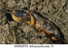 Gryllidae Stock Photos and Images. 124 gryllidae pictures and.