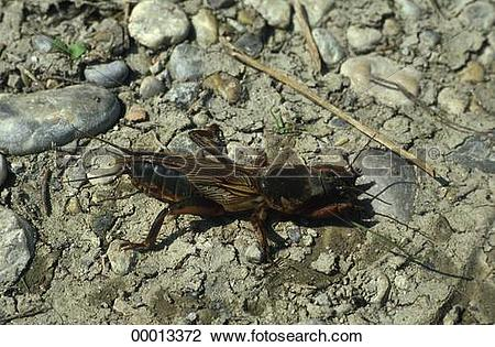Stock Photo of Gryllidae, Juniors, animal, animals, cricket.