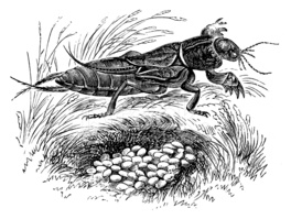 Antique Illustration of Gryllotalpa Gryllotalpa (european Mole C.