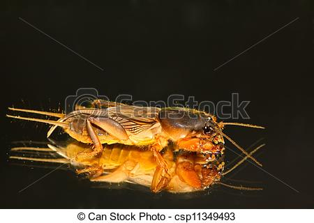 Stock Photographs of gryllotalpa orientalis on a white background.