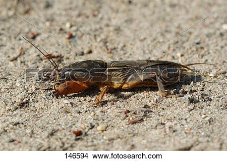 Stock Photo of European mole cricket.
