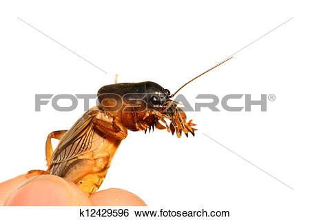 Stock Images of gryllotalpa orientalis k12429596.