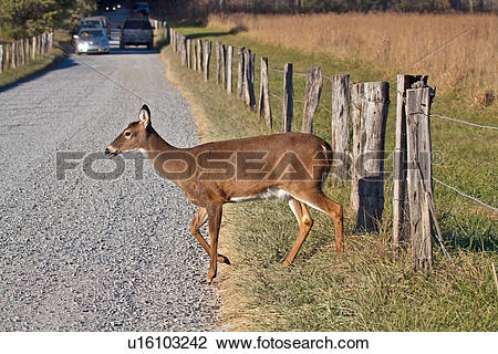 Stock Photo of deer great smoky mountain national park gsmnp tn.