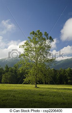 Stock Photography of Tree, Cades Cove, GSMNP, TN.