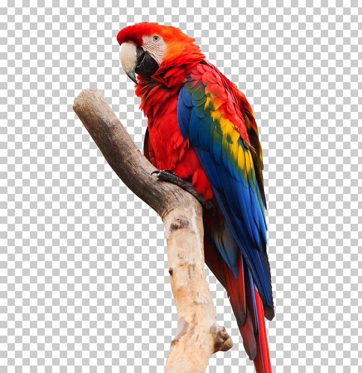 Loro guacamayo rojo guacamayo rojo y verde, loros PNG.