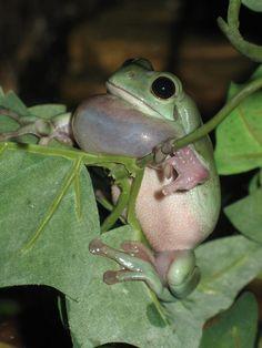 guajon frog tree.