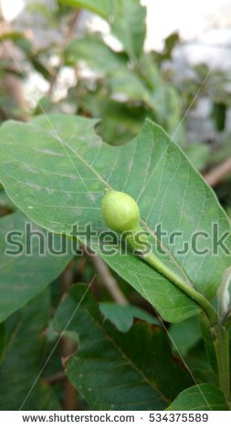 Guava Flower Stock Images, Royalty.
