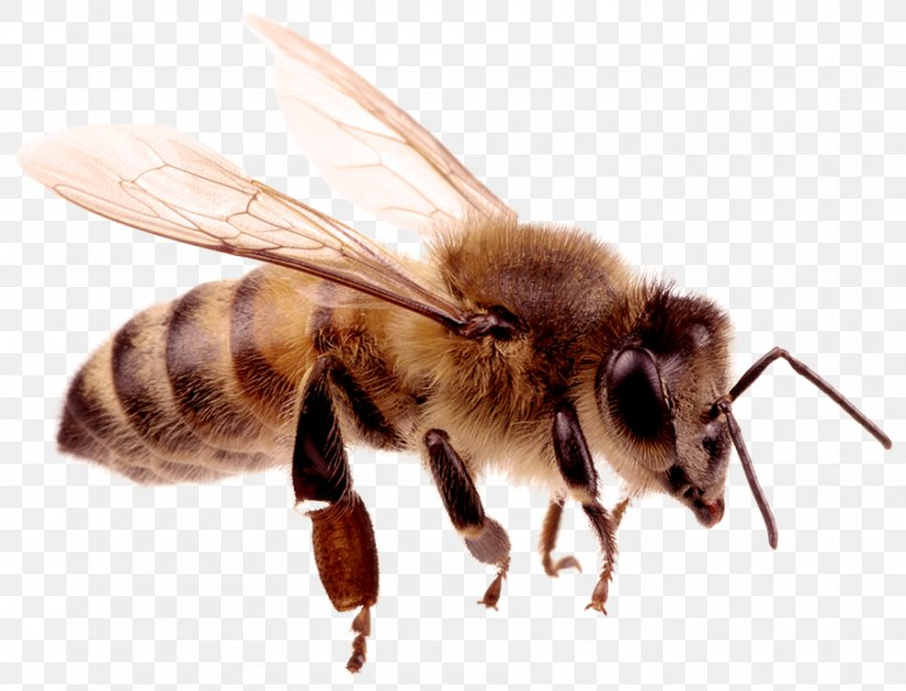 Carniolan Honey Bee Hornet Insect, PNG, 900x688px, Honey Bee.
