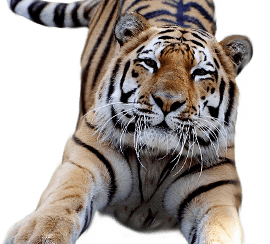 Download White Tiger Clipart Transparent Pencil And In Color.