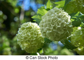 Guelder rose Stock Photos and Images. 1,586 Guelder rose pictures.