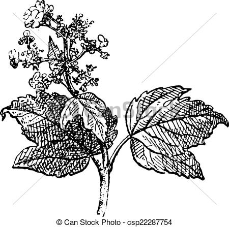 Clipart Vector of Viburnum opulus or Guelder rose, vintage.