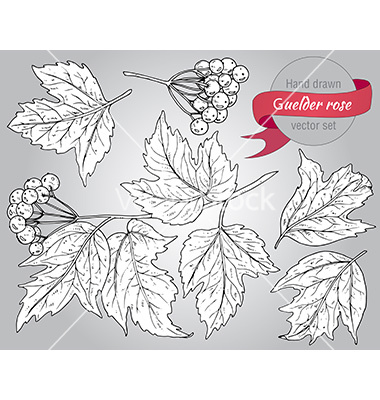 Clip art collection of hand drawn guelder rose vector by Natality.