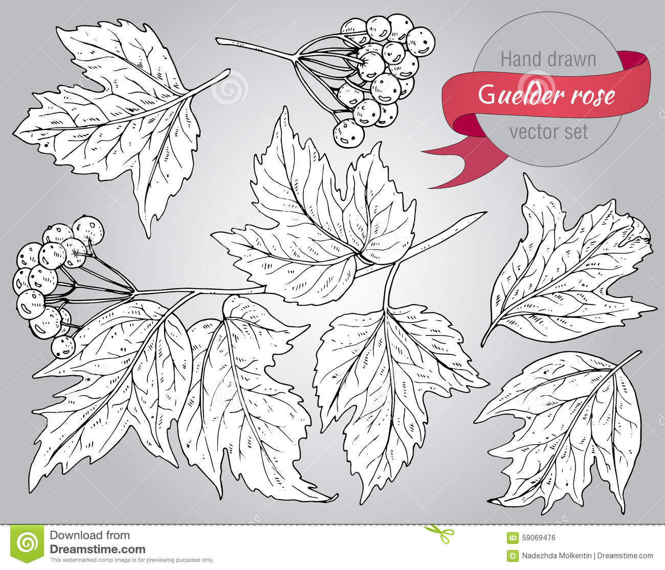 Clip Art Collection Of Hand Drawn Guelder Rose Plant Stock Vector.