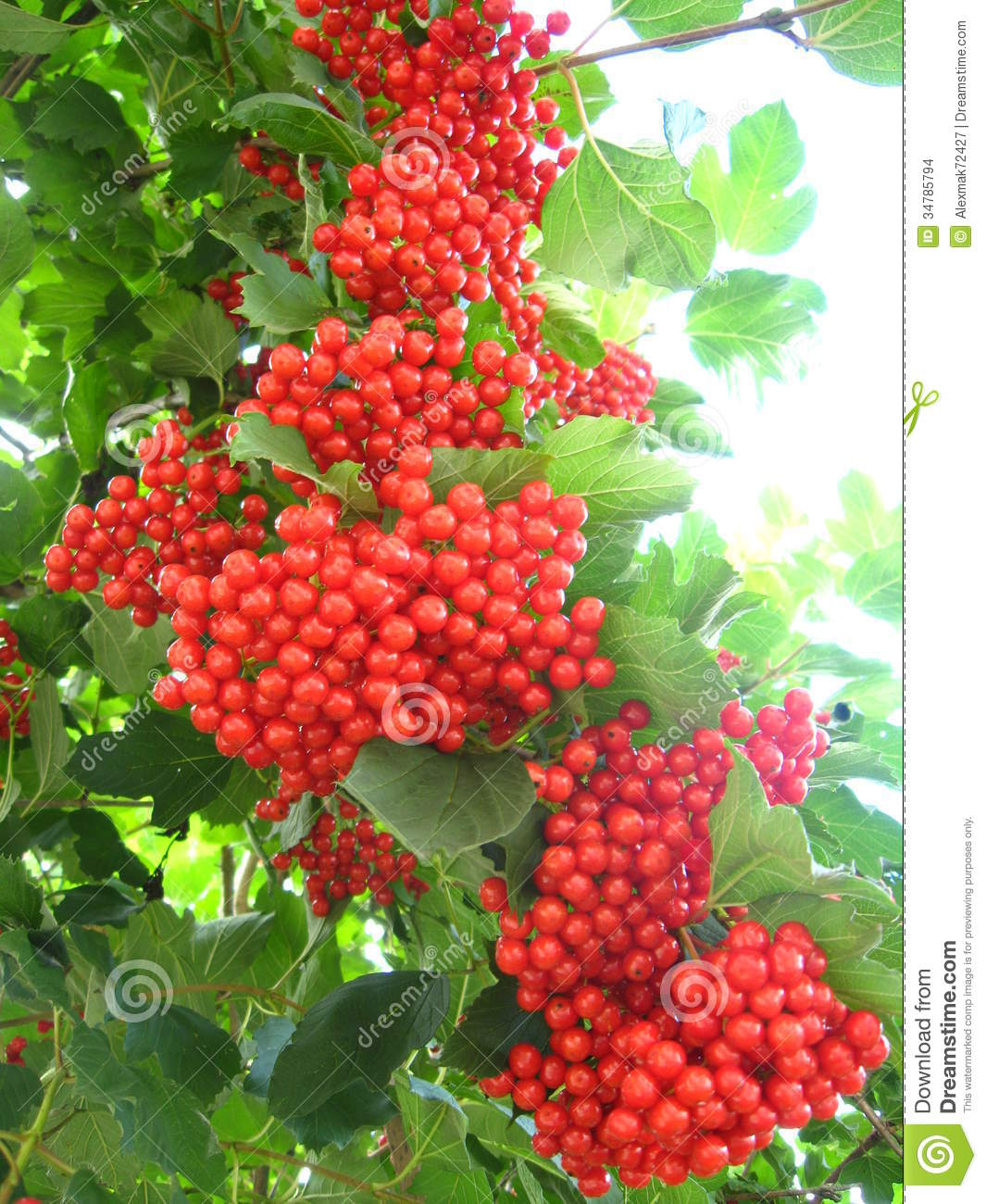 Clusters Of The Red Ripe Guelder.