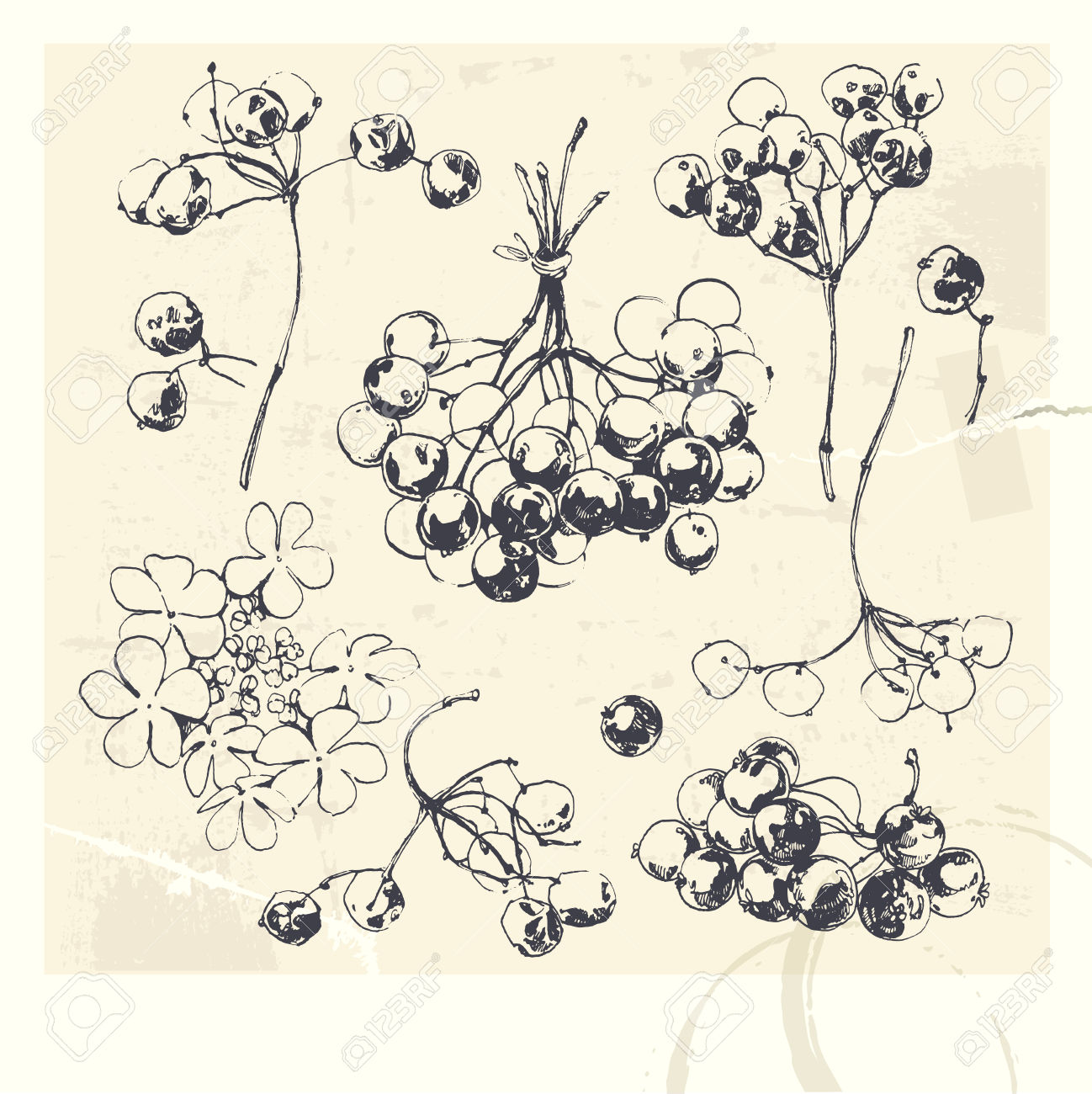 Clip Art Collection Of Hand Drawn Illustrations Of Guelder Rose.