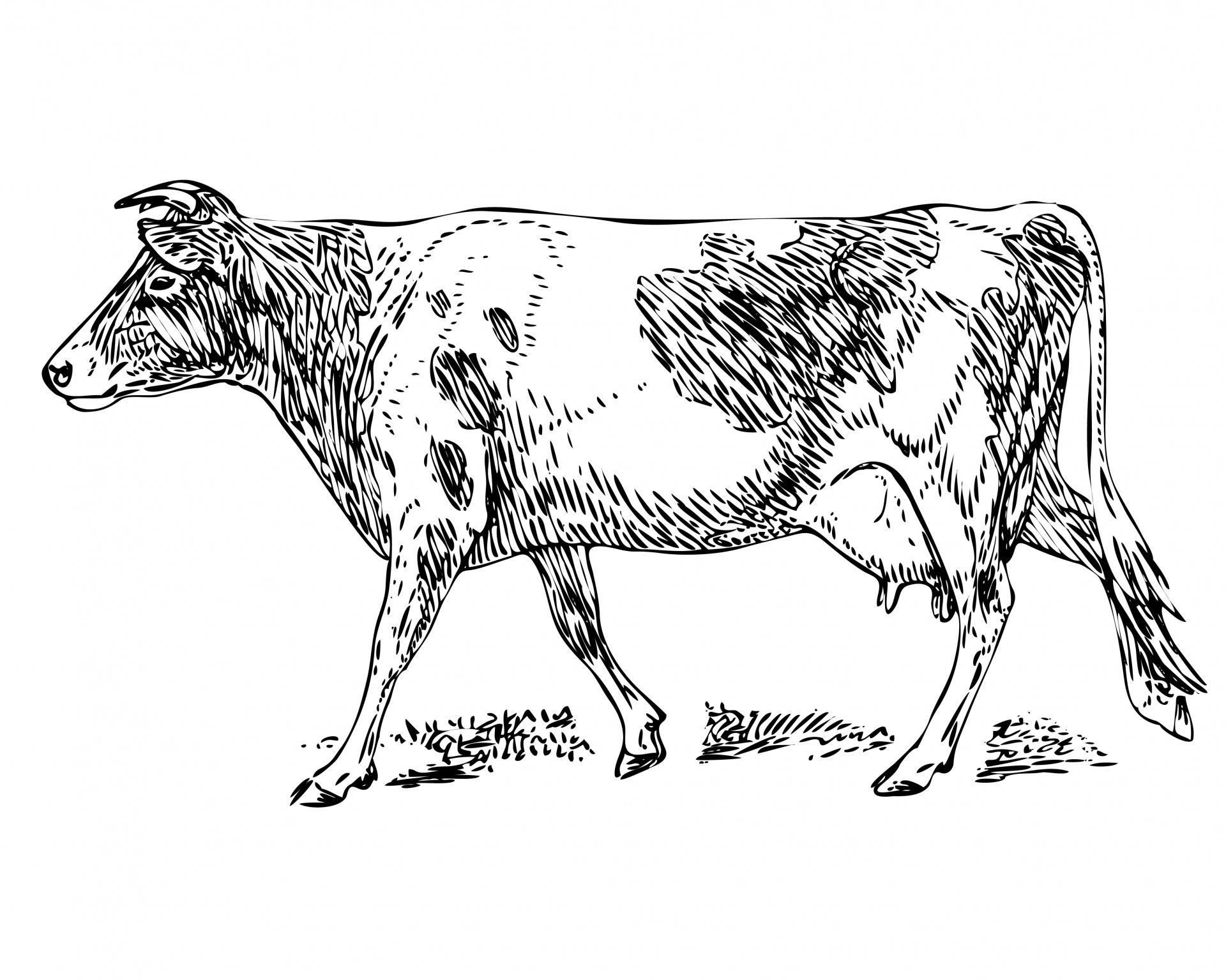 Guernsey cow clipart.