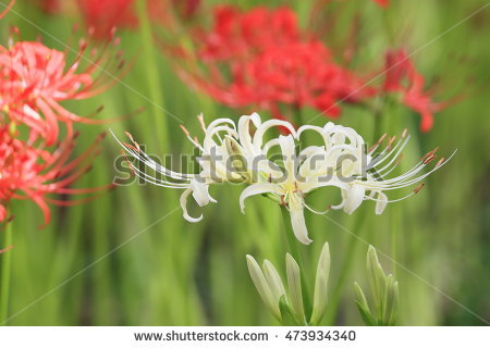 "spider Lilies"" Stock Photos, Royalty."