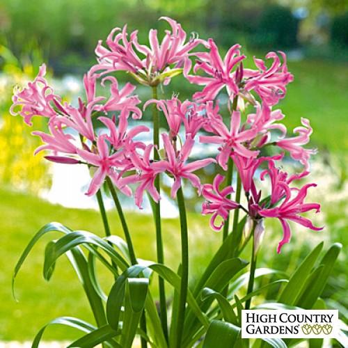 Nerine bowdenii Lily.