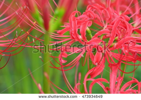 """red Spider Lily"""" Stock Photos, Royalty."""