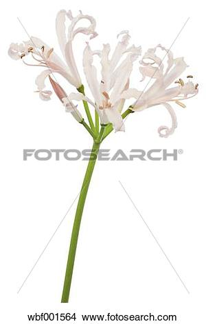 Stock Photo of Guernsey lily flower against white background.