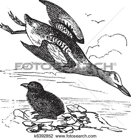 Clipart of Guillemot and young (winter plumage) vintage engraving.