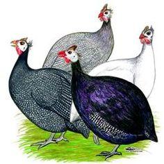 Guinea fowl clip art.
