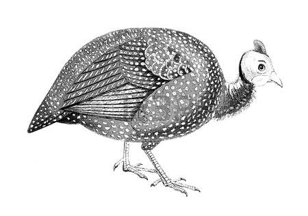 125 Guinea Fowl Stock Vector Illustration And Royalty Free Guinea.