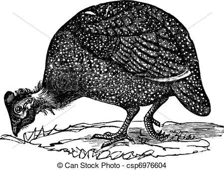 Guinea fowl Clip Art and Stock Illustrations. 64 Guinea fowl EPS.