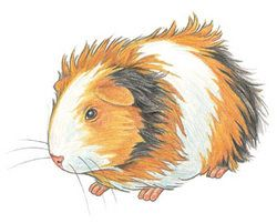 1000+ images about Guinea pig art on Pinterest.