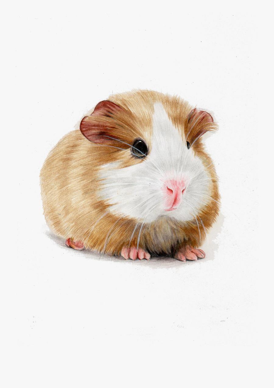 Clip Art Images Of Guinea Pigs.