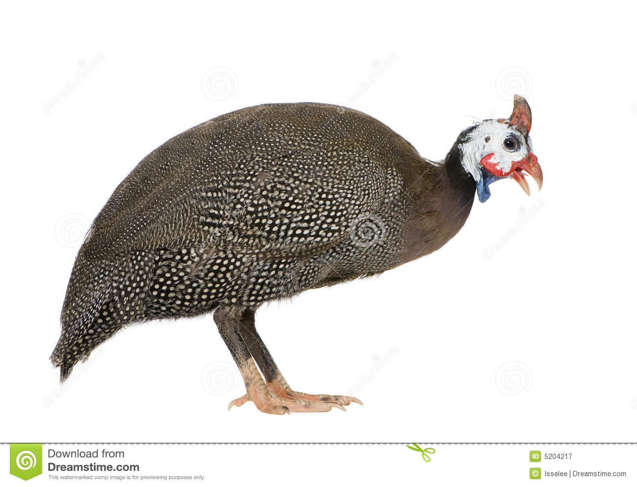Helmeted Guinea Fowl Stock Photo.