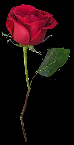 gül png, png gotik gul kanayan, Kanlı Kırmızı güller png uzantılı.