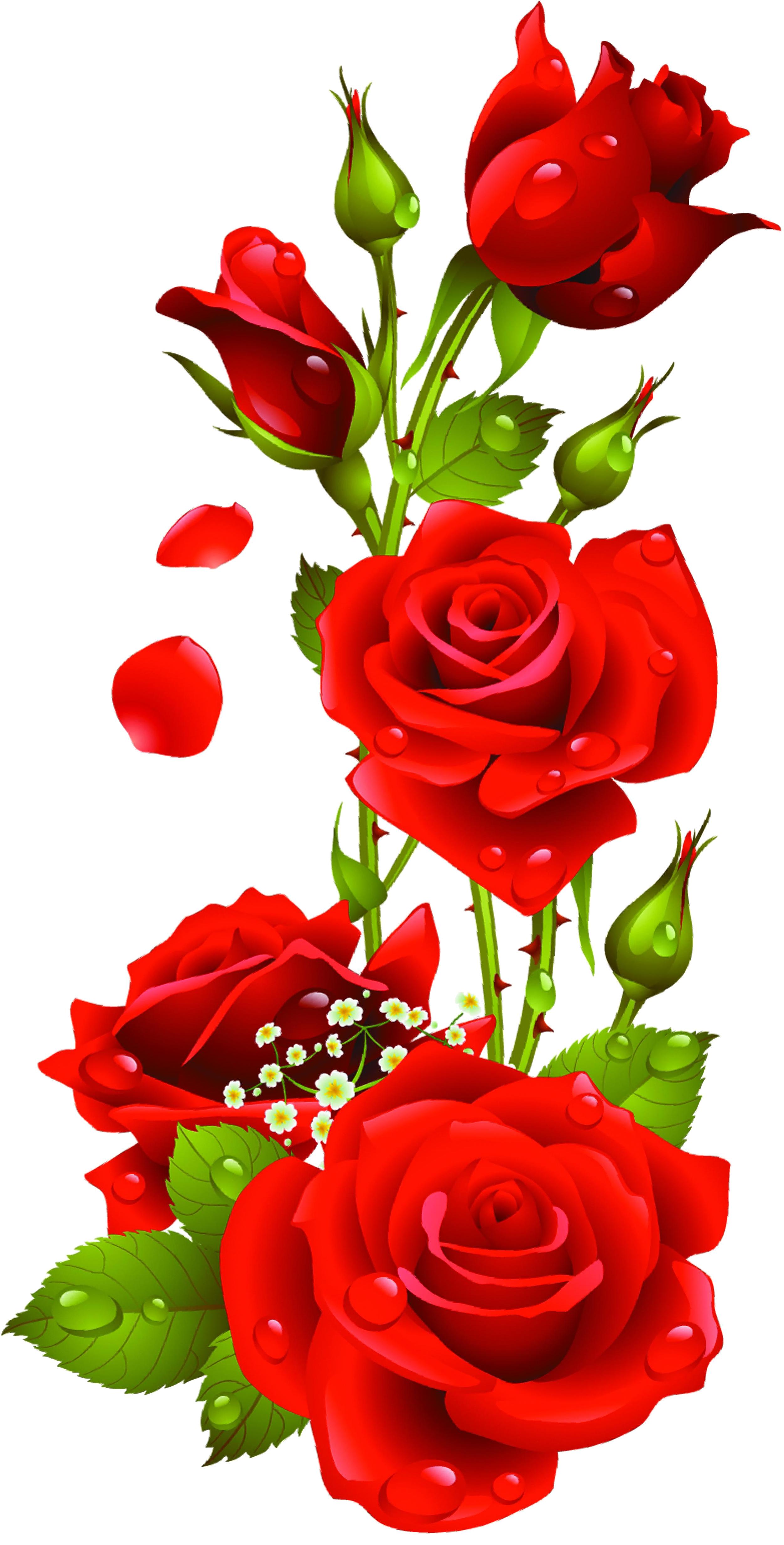Red Roses Vector, Kyrmyzy gul png resimler, png kyrmyzy gul.