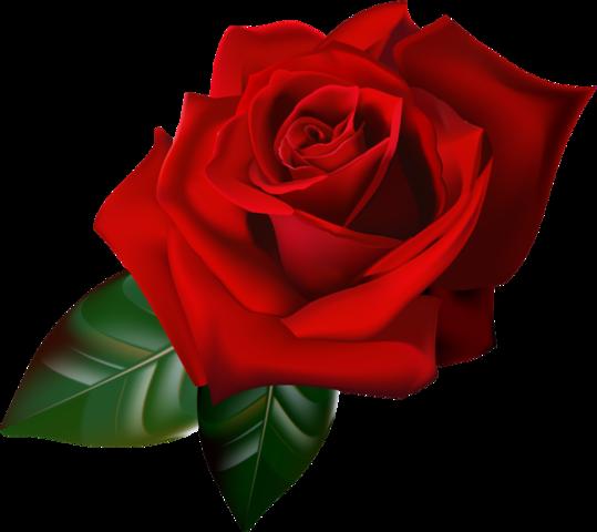 Kırmızı gül png » PNG Image.